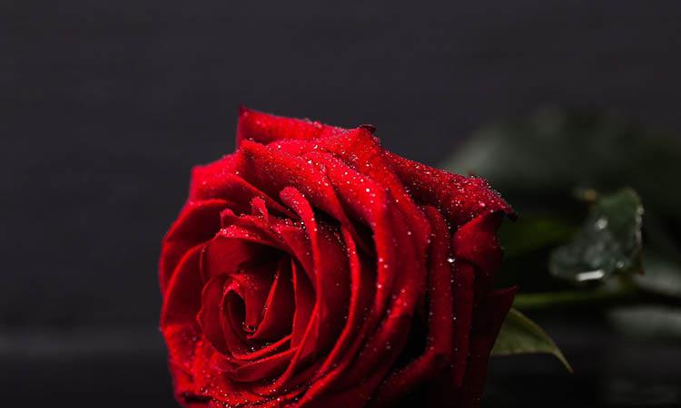 Rose-Day-2021-Messages-Quotes