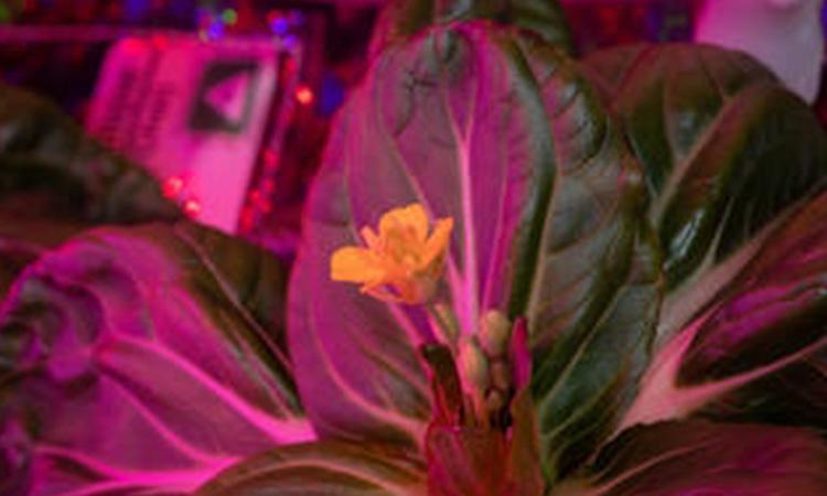 NASA, first flight of Mars helicopter, NASA astronaut, Plants in Space, NASA astronaut successfully harvests 2 plants in space